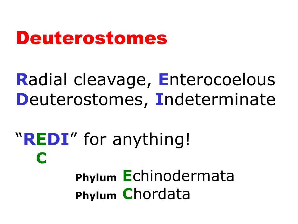 "Deuterostomes (2 Phyla) Radial cleavage, Enterocoelous Deuterostomes, Indeterminate ""REDI"" for anything! C Phylum Echinodermata Phylum Chordata"