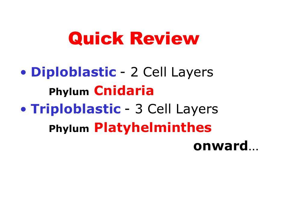 Diploblastic - 2 Cell Layers Phylum Cnidaria Triploblastic - 3 Cell Layers Phylum Platyhelminthes onward… Quick Review