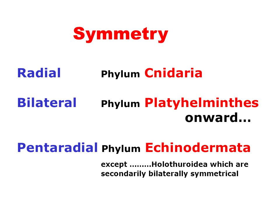 Symmetry Radial Phylum Cnidaria Bilateral Phylum Platyhelminthes onward… Pentaradial Phylum Echinodermata except ………Holothuroidea which are secondaril
