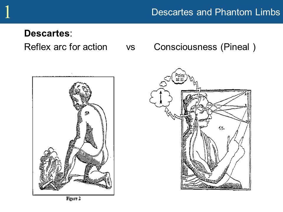1 Descartes and Phantom Limbs Descartes: Reflex arc for action vs Consciousness (Pineal )
