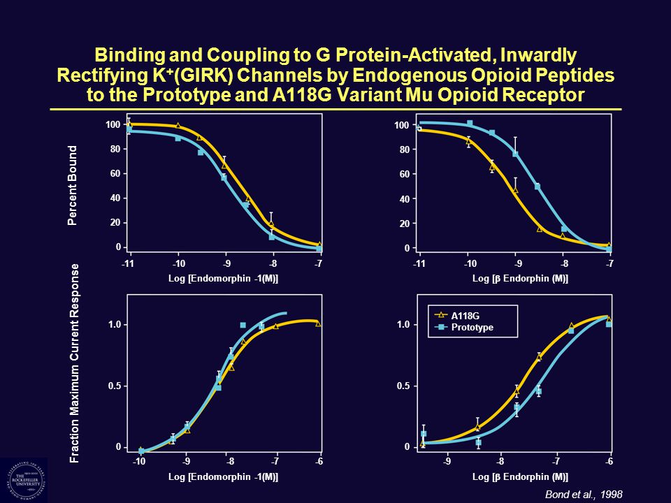 Binding and Coupling to G Protein-Activated, Inwardly Rectifying K + (GIRK) Channels by Endogenous Opioid Peptides to the Prototype and A118G Variant Mu Opioid Receptor 100 80 60 40 20 Percent Bound 0 1.0 0.5 Fraction Maximum Current Response 0 Log [Endomorphin -1(M)] -11-10-9-8-7 -10-9-8-7-6 100 80 60 40 20 0 Log [  Endorphin (M)] -11-10-9-8-7 A118G Prototype Bond et al., 1998 1.0 0.5 0 -9-8-7-6 Log [Endomorphin -1(M)] Log [  Endorphin (M)]