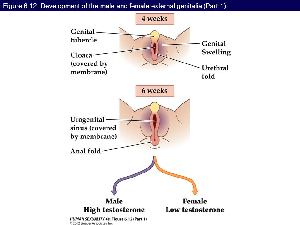 Figure 6.12 Development of the male and female external genitalia (Part 1)