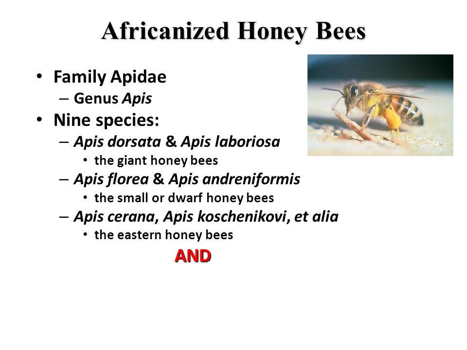 Africanized Honey Bees Family Apidae Family Apidae – Genus Apis Nine species: Nine species: – Apis dorsata & Apis laboriosa the giant honey bees the giant honey bees – Apis florea & Apis andreniformis the small or dwarf honey bees the small or dwarf honey bees – Apis cerana, Apis koschenikovi, et alia the eastern honey bees the eastern honey bees AND AND