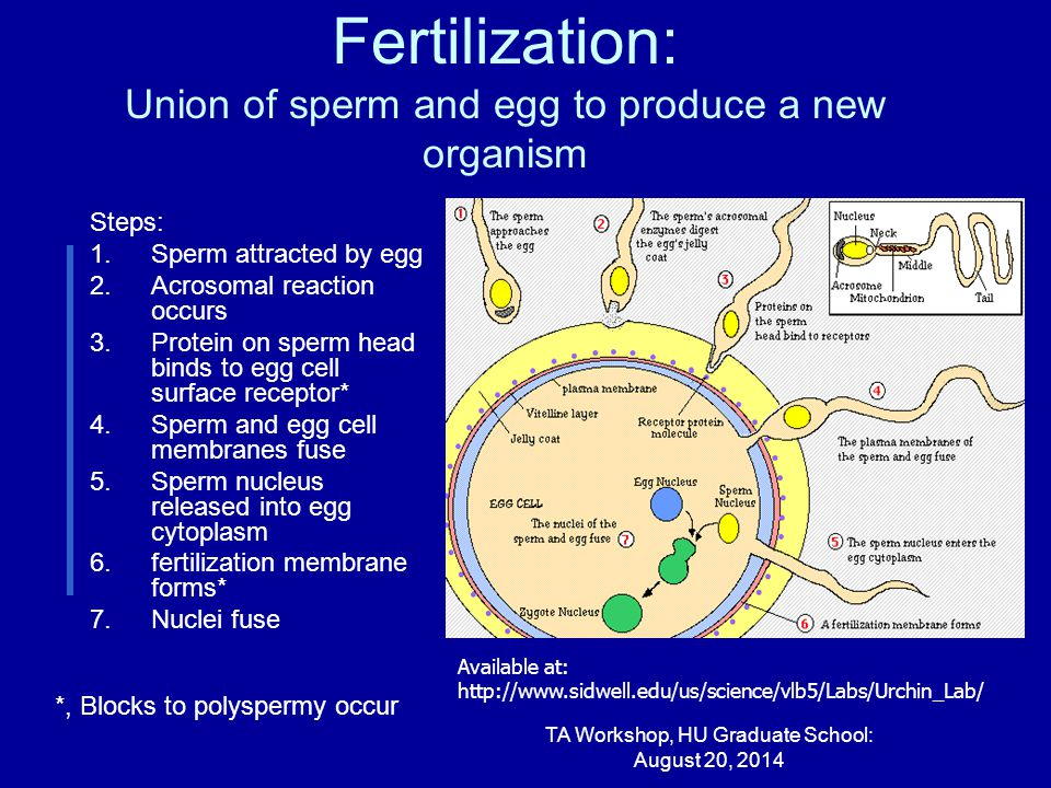 Fertilization: Union of sperm and egg to produce a new organism Steps: 1.Sperm attracted by egg 2.Acrosomal reaction occurs 3.Protein on sperm head binds to egg cell surface receptor* 4.Sperm and egg cell membranes fuse 5.Sperm nucleus released into egg cytoplasm 6.fertilization membrane forms* 7.Nuclei fuse TA Workshop, HU Graduate School: August 20, 2014 Available at: http://www.sidwell.edu/us/science/vlb5/Labs/Urchin_Lab/ *, Blocks to polyspermy occur