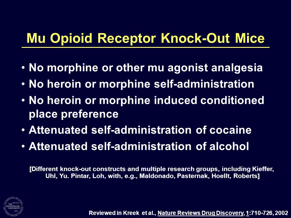 Mu Opioid Receptor Knock-Out Mice No morphine or other mu agonist analgesia No heroin or morphine self-administration No heroin or morphine induced conditioned place preference Attenuated self-administration of cocaine Attenuated self-administration of alcohol Reviewed in Kreek et al., Nature Reviews Drug Discovery, 1:710-726, 2002 [Different knock-out constructs and multiple research groups, including Kieffer, Uhl, Yu.
