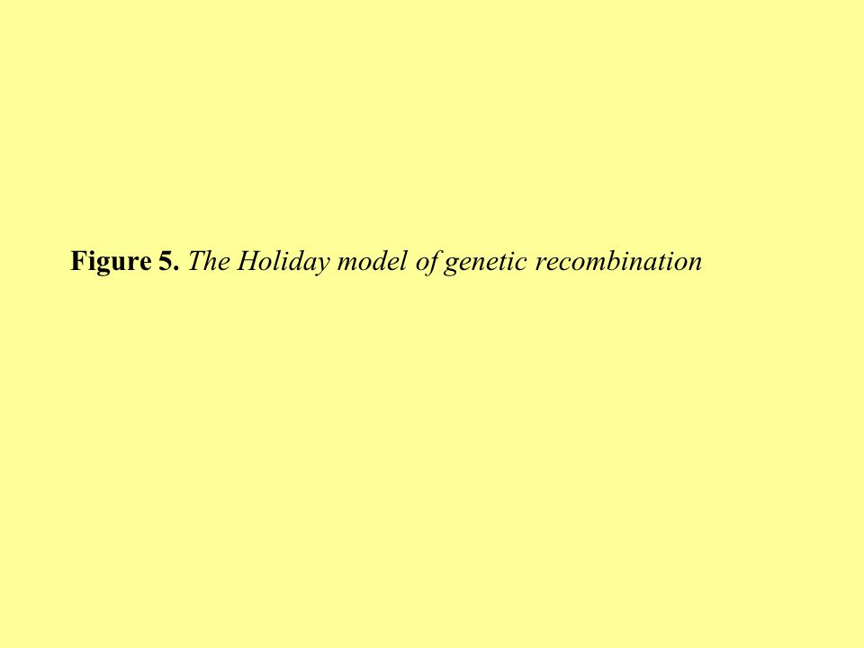 Figure 5. The Holiday model of genetic recombination
