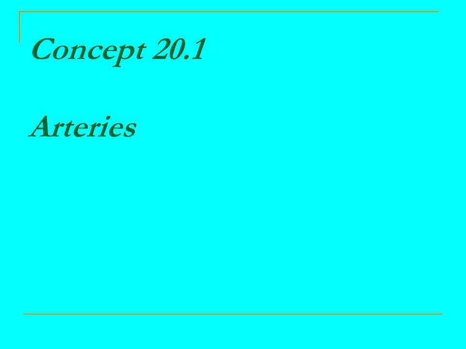 Arteries Two main types  elastic arteries  muscular arteries Three coats  tunic interna endothelium, basement membrane, internal elastic lamina  tunica media elastic fibers and smooth muscle fibers  tunic externa elastic and collagen fibers Innervated by sympathetic fibers of ANS