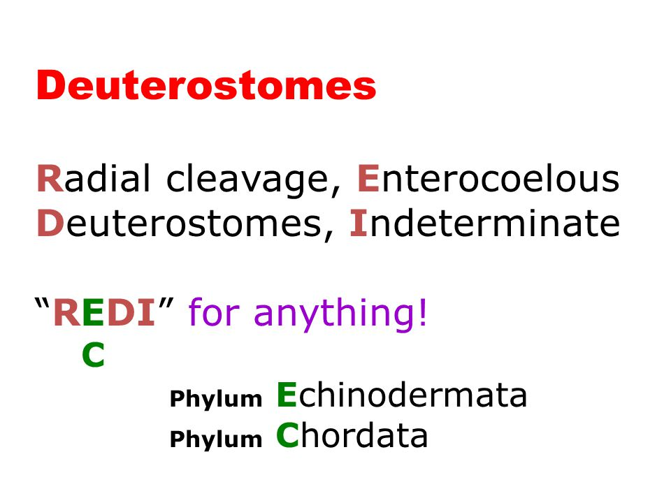 "Deuterostomes (2 Phyla) Radial cleavage, Enterocoelous Deuterostomes, Indeterminate ""REDI"" for anything! C Phylum Echinodermata Phylum Chordata"