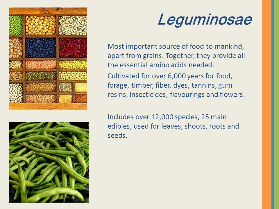 Leguminosae Most important source of food to mankind, apart from grains. Together, they provide all the essential amino acids needed. Cultivated for o