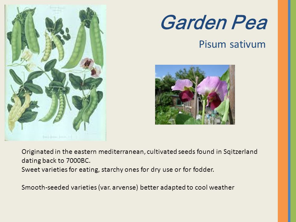 Garden Pea Pisum sativum Originated in the eastern mediterranean, cultivated seeds found in Sqitzerland dating back to 7000BC. Sweet varieties for eat