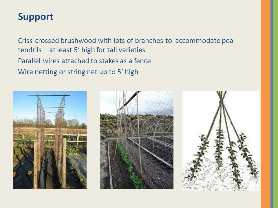 Support Criss-crossed brushwood with lots of branches to accommodate pea tendrils – at least 5' high for tall varieties Parallel wires attached to stakes as a fence Wire netting or string net up to 5' high