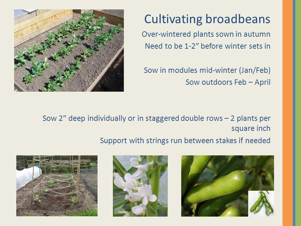 """Cultivating broadbeans Over-wintered plants sown in autumn Need to be 1-2"""" before winter sets in Sow in modules mid-winter (Jan/Feb) Sow outdoors Feb"""
