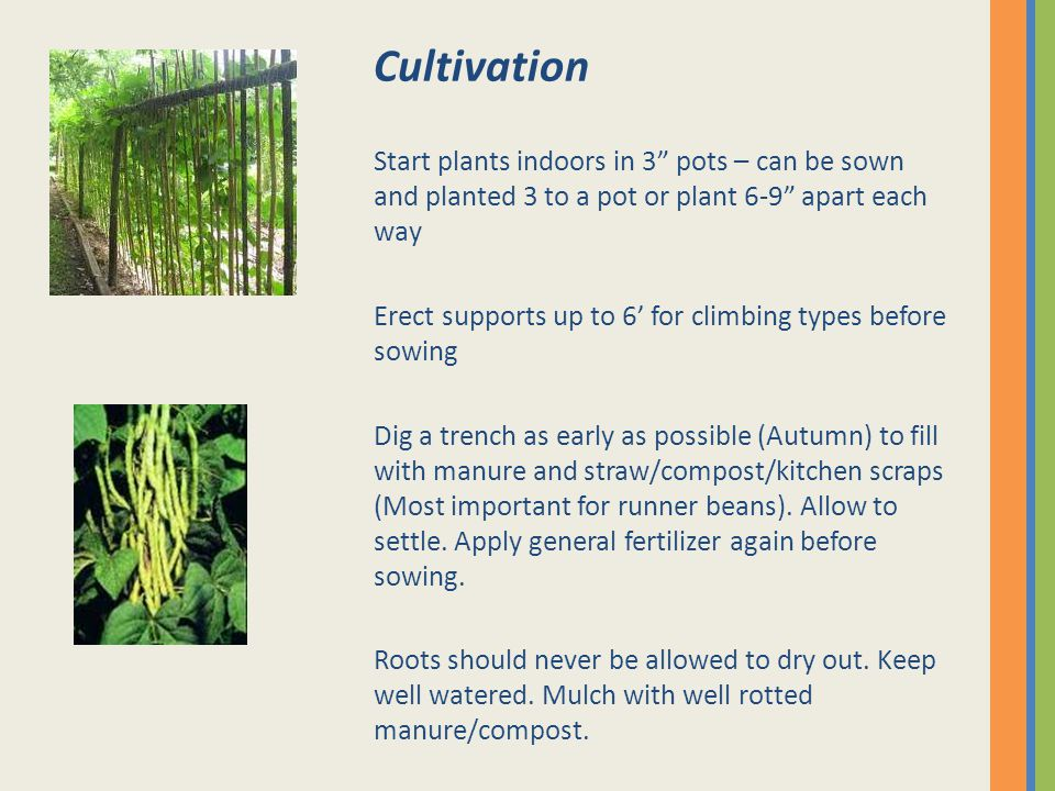 Cultivation Start plants indoors in 3 pots – can be sown and planted 3 to a pot or plant 6-9 apart each way Erect supports up to 6' for climbing types before sowing Dig a trench as early as possible (Autumn) to fill with manure and straw/compost/kitchen scraps (Most important for runner beans).