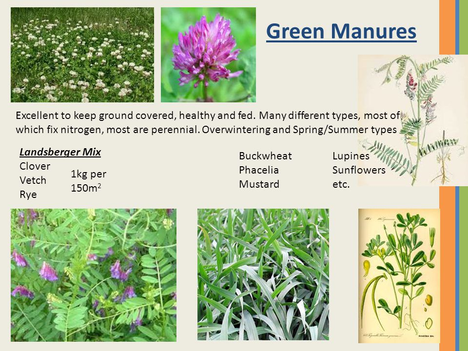 Green Manures Excellent to keep ground covered, healthy and fed.