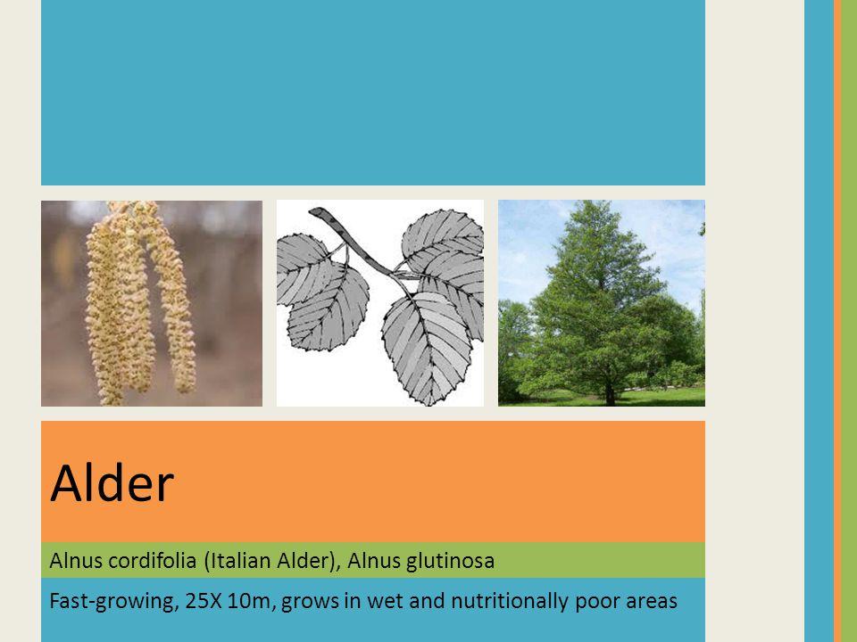 Alnus cordifolia (Italian Alder), Alnus glutinosa Alder Fast-growing, 25X 10m, grows in wet and nutritionally poor areas