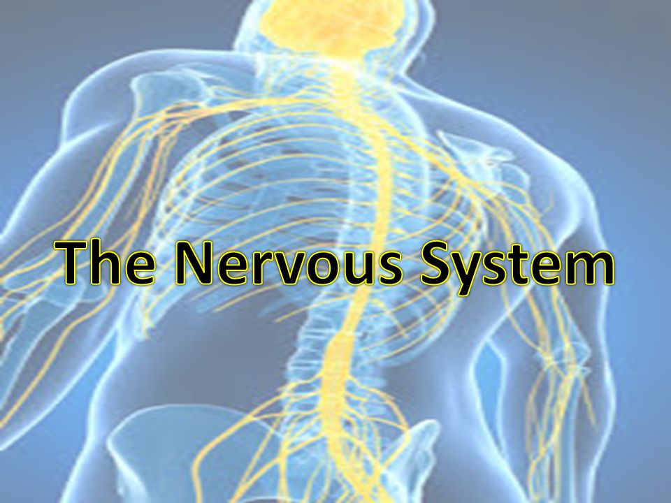 Biology and Behavior The Nervous System is our bodies Blueprint : – It gathers & processes information – Responds to stimuli – Coordinates the workings of different cells – Regulates our internal functions Nervous System is involved in psychological processes such as: - thought - movement - emotion - sensation