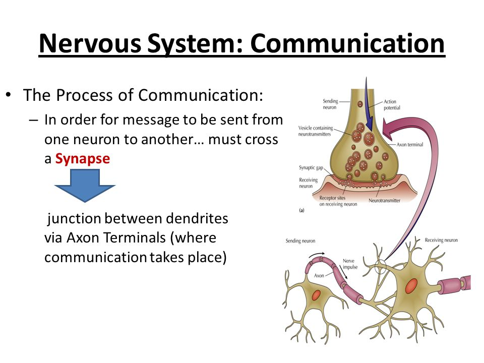 Neurons send messages across synapses (junctions) by releasing… Neurotransmitters  chemicals stored in sacs in the axon terminals (look like buttons ) Nervous System: Communication