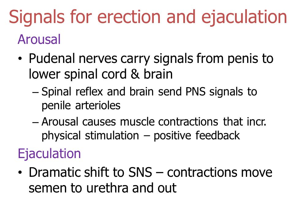 Signals for erection and ejaculation Arousal Pudenal nerves carry signals from penis to lower spinal cord & brain – Spinal reflex and brain send PNS signals to penile arterioles – Arousal causes muscle contractions that incr.