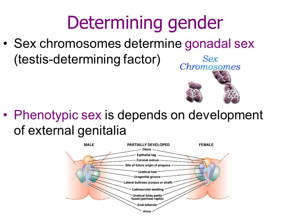 Determining gender Sex chromosomes determine gonadal sex (testis-determining factor) Phenotypic sex is depends on development of external genitalia