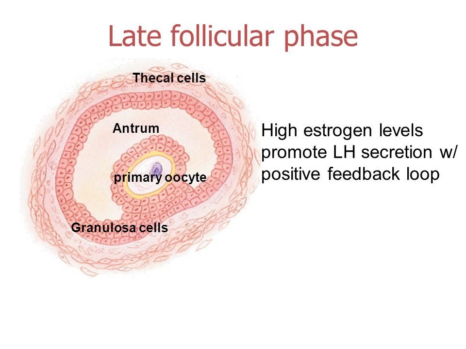 Thecal cells Granulosa cells Antrum primary oocyte Late follicular phase High estrogen levels promote LH secretion w/ positive feedback loop