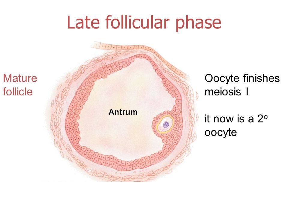 Late follicular phase Mature follicle Antrum Oocyte finishes meiosis I it now is a 2 o oocyte