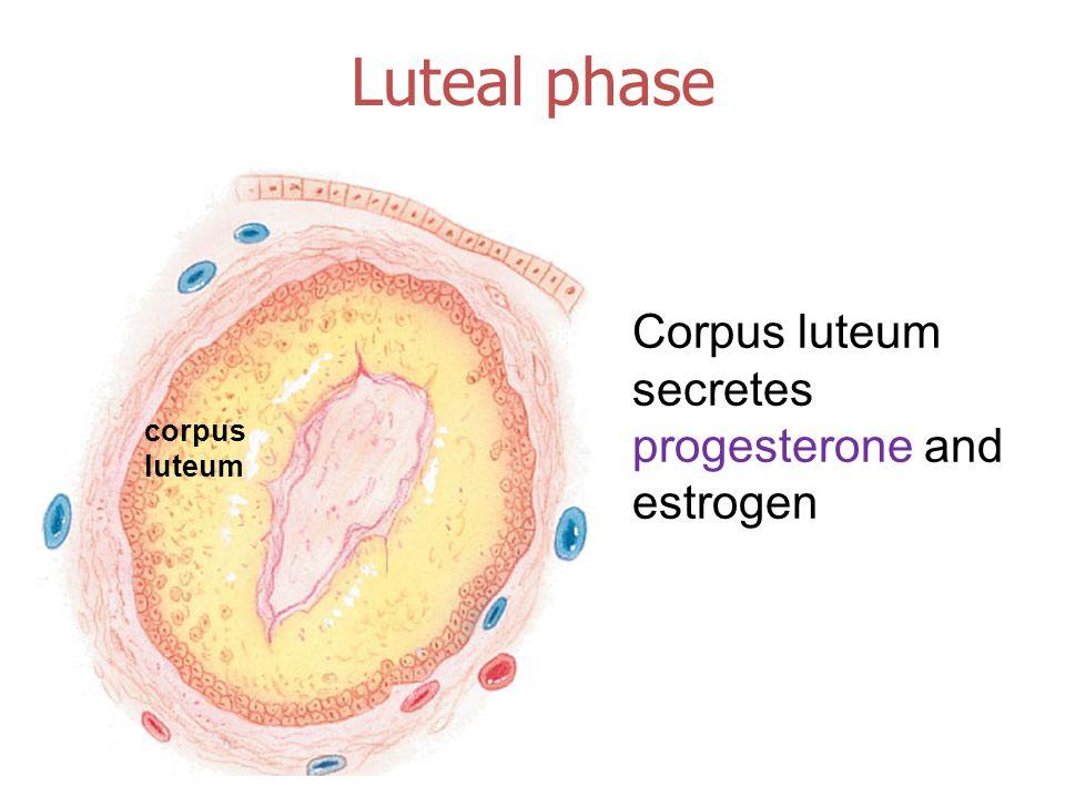 corpus luteum Luteal phase Corpus luteum secretes progesterone and estrogen