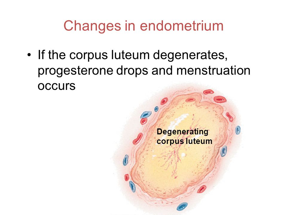 Changes in endometrium If the corpus luteum degenerates, progesterone drops and menstruation occurs Degenerating corpus luteum