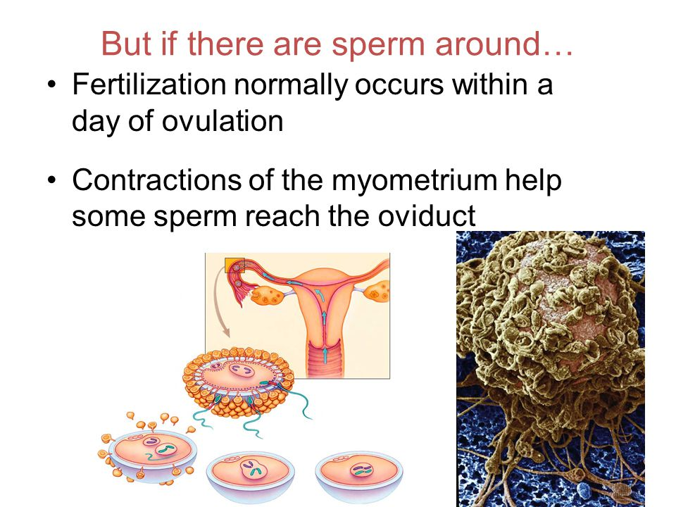 But if there are sperm around… Fertilization normally occurs within a day of ovulation Contractions of the myometrium help some sperm reach the oviduct acrosome in action