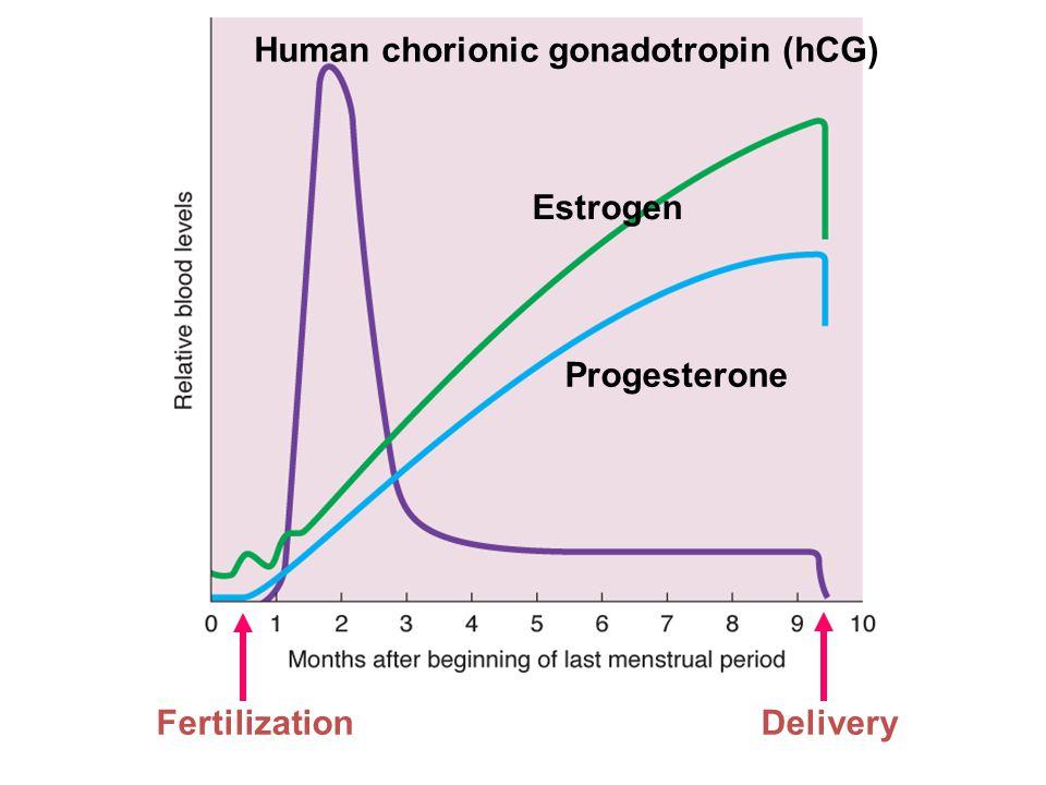 Figure 20.27 Page 791 Human chorionic gonadotropin (hCG) Estrogen Progesterone FertilizationDelivery