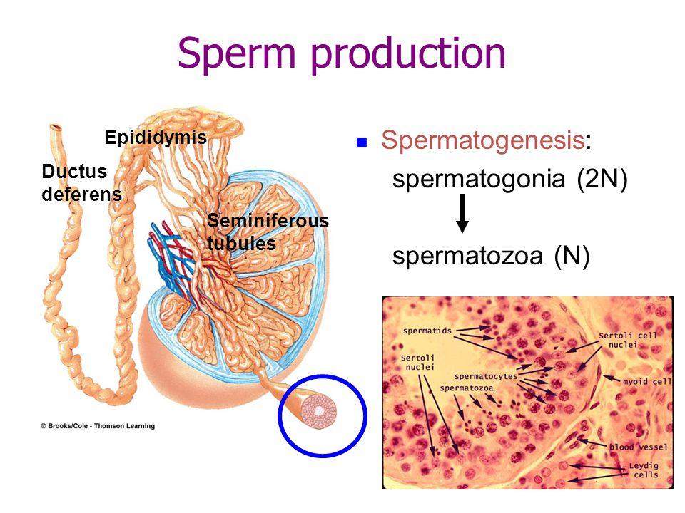 Spermatogenesis: spermatogonia (2N) spermatozoa (N) Epididymis Ductus deferens Seminiferous tubules Sperm production