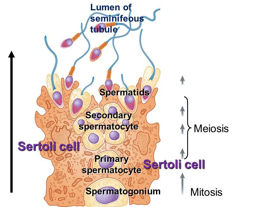 Lumen of seminifeous tubule Sertoli cell Spermatids Secondaryspermatocyte Primaryspermatocyte Spermatogonium Mitosis Meiosis Sertoli cell