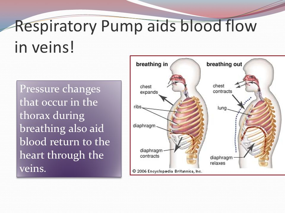 Respiratory Pump aids blood flow in veins! Pressure changes that occur in the thorax during breathing also aid blood return to the heart through the v