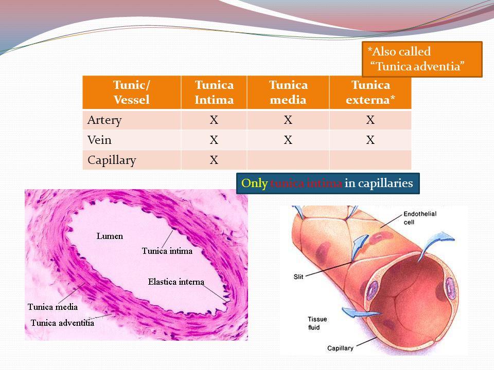 "Tunic/ Vessel Tunica Intima Tunica media Tunica externa* ArteryXXX VeinXXX CapillaryX *Also called ""Tunica adventia"" Only tunica intima in capillaries"