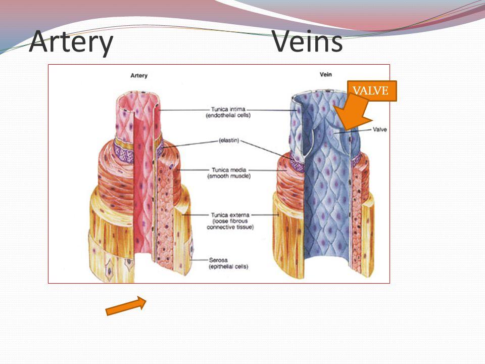 ArteryVeins VALVE