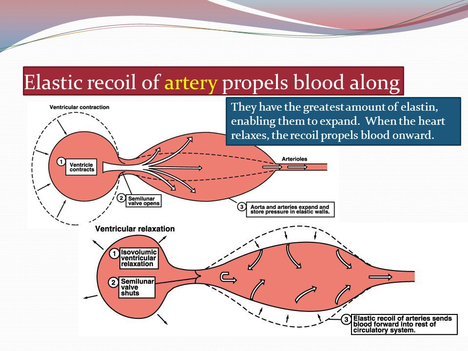 Elastic recoil of artery propels blood along They have the greatest amount of elastin, enabling them to expand. When the heart relaxes, the recoil pro