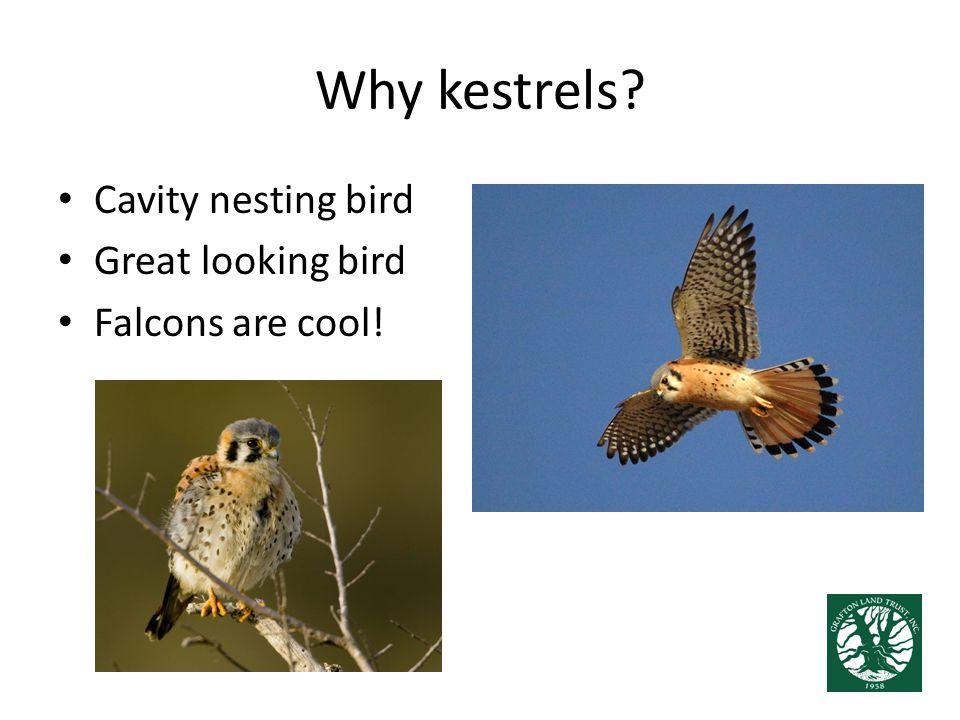 Why kestrels? Cavity nesting bird Great looking bird Falcons are cool!