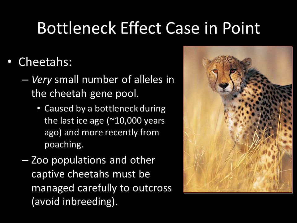 Bottleneck Effect Case in Point Cheetahs: – Very small number of alleles in the cheetah gene pool. Caused by a bottleneck during the last ice age (~10