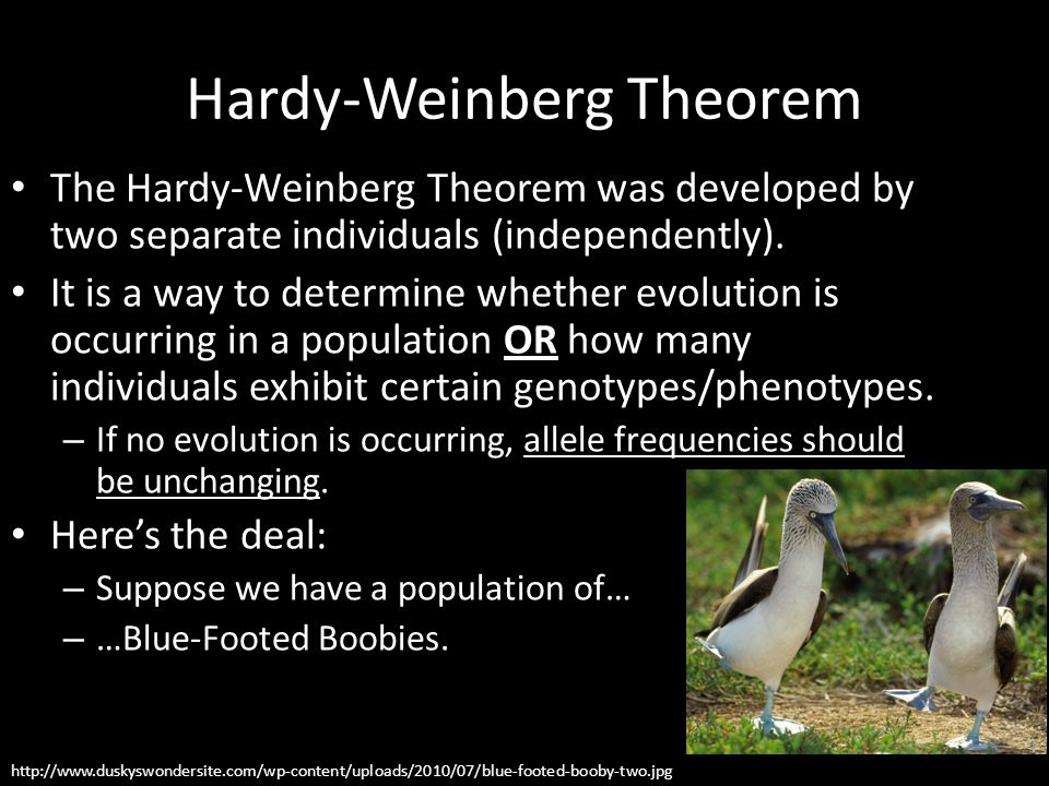 Hardy-Weinberg Theorem The Hardy-Weinberg Theorem was developed by two separate individuals (independently). It is a way to determine whether evolutio
