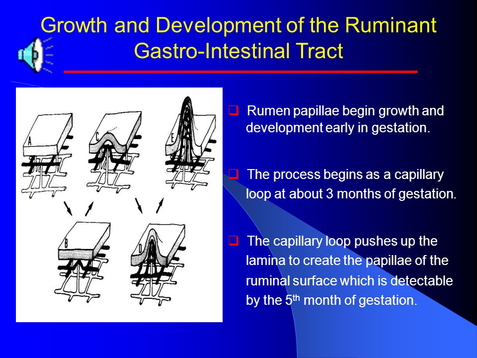 Growth and Development of the Ruminant Gastro-Intestinal Tract   Rumen papillae begin growth and development early in gestation.