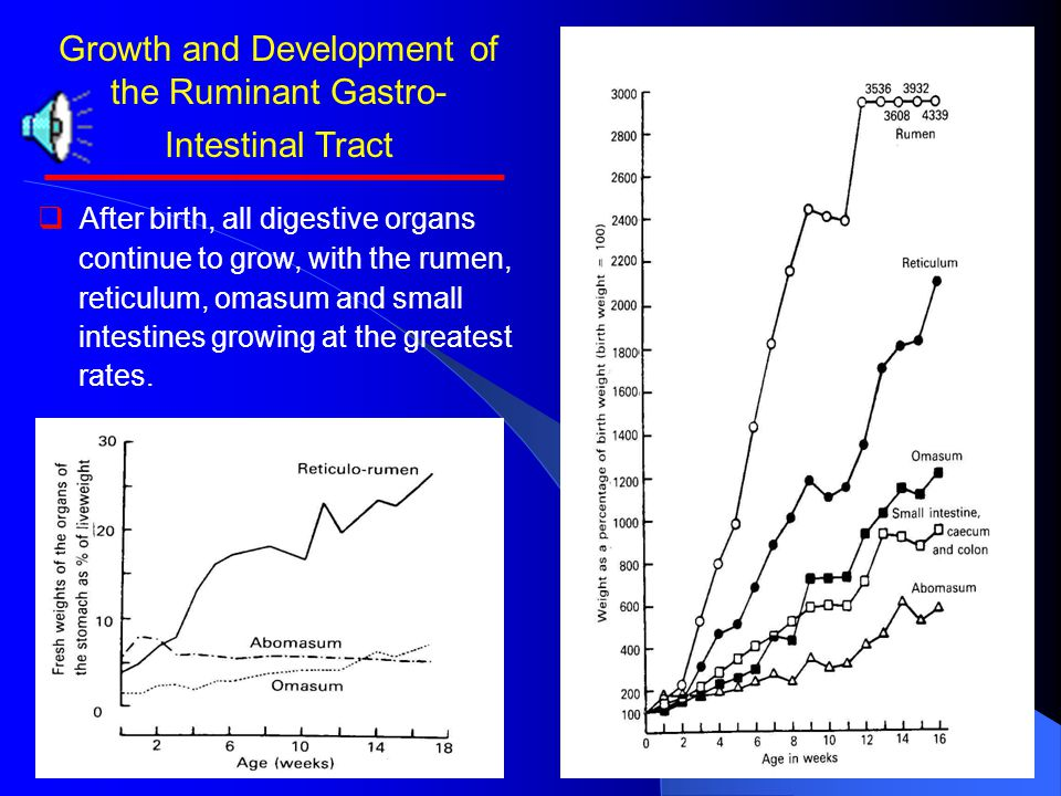 Growth and Development of the Ruminant Gastro-Intestinal Tract   Rumen is small and flaccid, with a very thin wall.