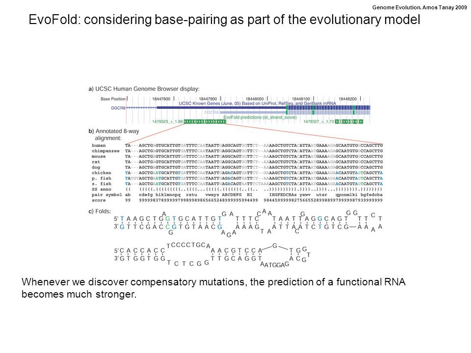 Genome Evolution. Amos Tanay 2009 EvoFold: considering base-pairing as part of the evolutionary model Whenever we discover compensatory mutations, the