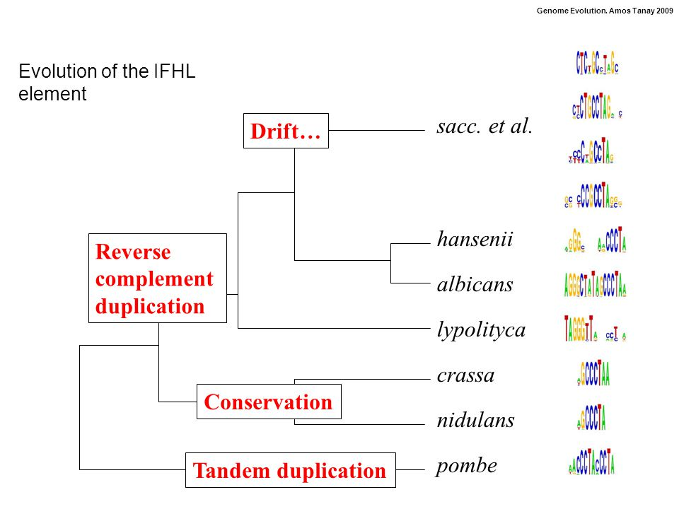 Genome Evolution. Amos Tanay 2009 Evolution of the IFHL element pombe nidulans crassa lypolityca albicans hansenii sacc. et al. Tandem duplication Con