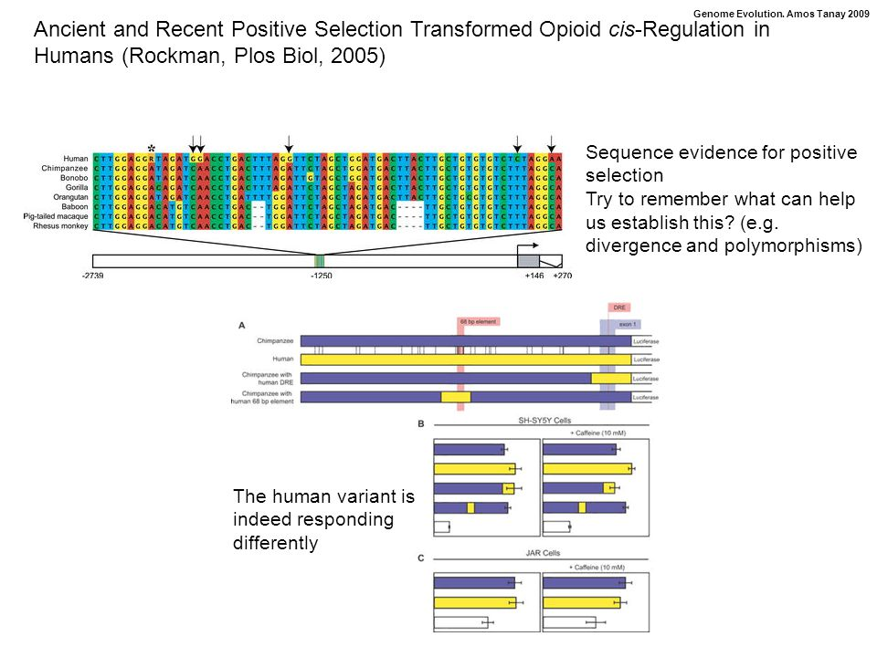 Genome Evolution. Amos Tanay 2009 Ancient and Recent Positive Selection Transformed Opioid cis-Regulation in Humans (Rockman, Plos Biol, 2005) Sequenc