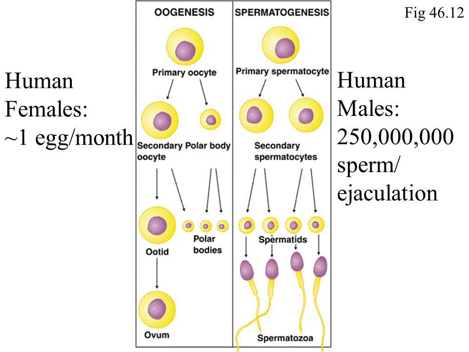 Human Females: ~1 egg/month Human Males: 250,000,000 sperm/ ejaculation Fig 46.12