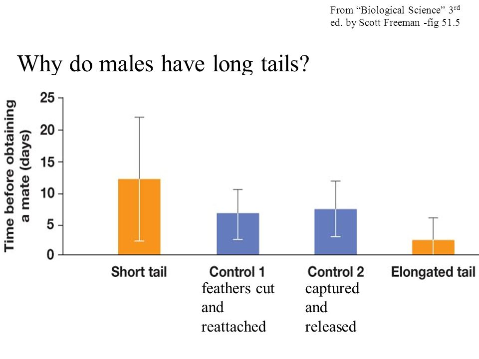 """Why do males have long tails? From """"Biological Science"""" 3 rd ed. by Scott Freeman -fig 51.5 feathers cut and reattached captured and released"""