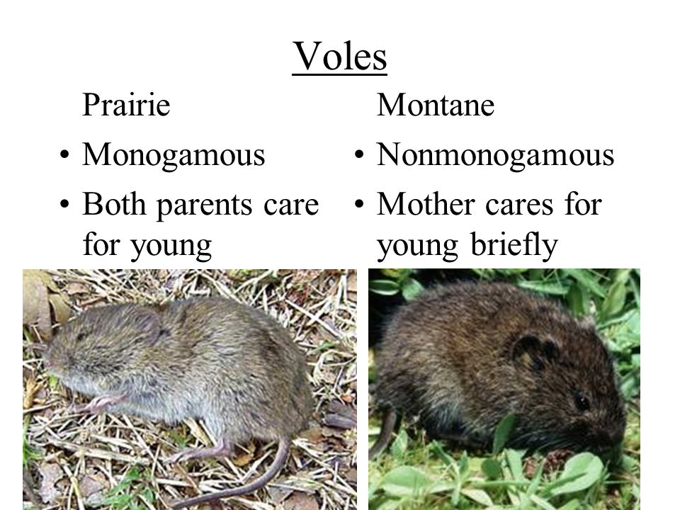 Voles Prairie Monogamous Both parents care for young Montane Nonmonogamous Mother cares for young briefly