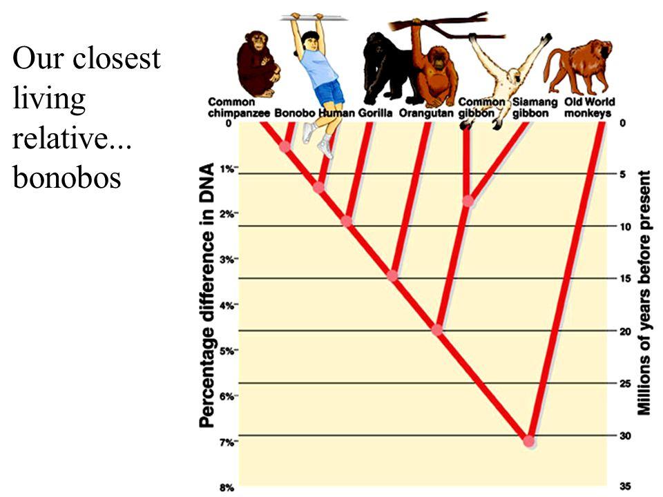 Our closest living relative... bonobos