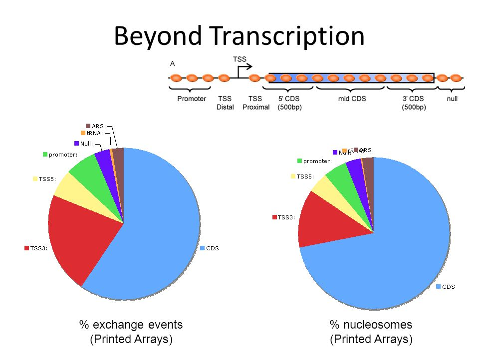 Beyond Transcription % nucleosomes (Printed Arrays) % exchange events (Printed Arrays)