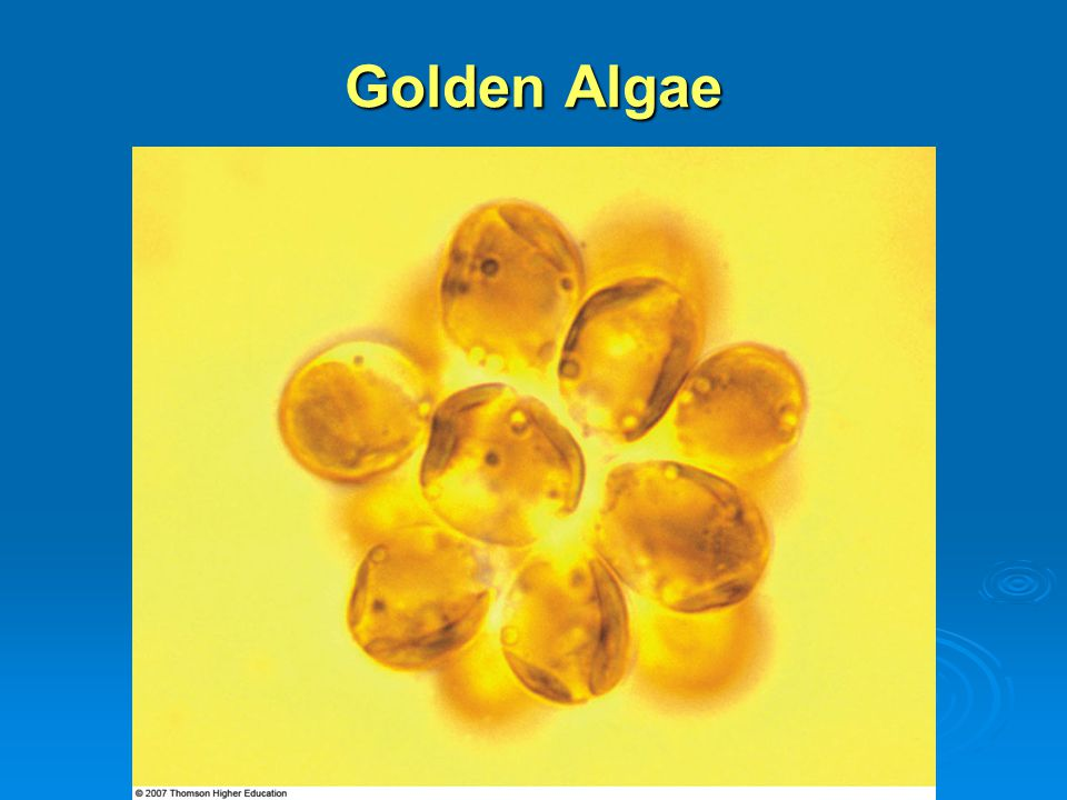 Golden Algae