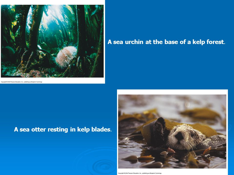 A sea urchin at the base of a kelp forest. A sea otter resting in kelp blades.